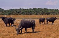 Buffalos, Maraj&#243; Island, Par&#225;, Brazil