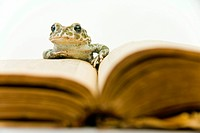 European green toad Bufo viridis in front of a book
