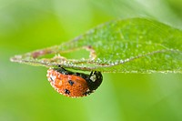Ladybird (Coccinellia septempunctata) with dew drops