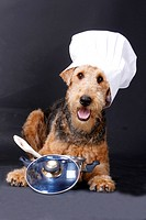 Airedale Terrier with chef's hat