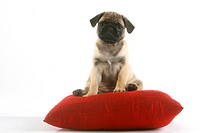 Pug, puppy on pillow, cushion