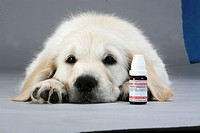 Golden Retriever, puppy and bottle with globuli, homoeopathy