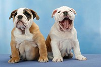 English Bulldogs, puppies, 10 weeks