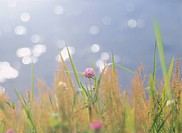 The Red Clover On The Waterside (thumbnail)