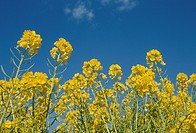 Rape Blossoms And A Blue Sky