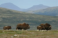 Musk Ox (Ovibos moschatus), Nationalpark Dovrejell, Norway