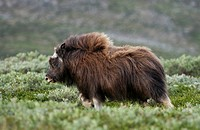 Musk Ox Ovibos moschatus, juvenile animal, Nationalpark Dovrejell, Norway