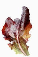 Oak leaf lettuce close_up