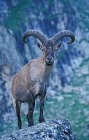 West Caucasian Tur / Capra caucasica. Caucasus, Kabardino-Balkarskiy National Park