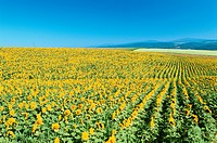 Sunflower Fields On Hills