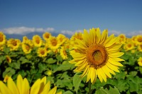 Blue Sky And A Sunflower (thumbnail)