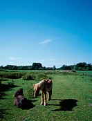 Two Ponies In Field