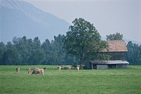 The Cow And Hut Of A Pasture In Germany
