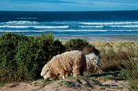 Sheep Grazing Near Ocean