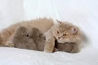 British Longhair Cat, lilac_tabby_makarell, nursing kittens, 18 days, Highlander, Lowlander, Britanica