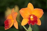 Orchid Mini Cattleya