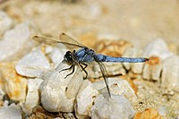 Male Southern Skimmer Dragonfly Orthetrum brunneum, sitting on a pale pebble