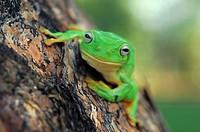 Australian Green Tree Frog (Litoria caerulea); Australia