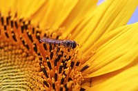 Hoverfly Episyrphus balteatus with sunflower