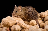 House mouse (mus musculus) with nuts
