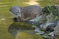 Otter (lutra lutra), Switzerland