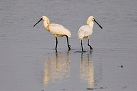 Two Eurasian Spoonbill Platalea leucorodia stalking through the mudflat at low tide