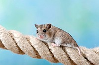 Chinese Hamster on rope, Cricetulus barabensis, Cricetulus griseus