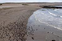 Magellanic Penguin (Spheniscus magellanicus), Valdes Peninsula, Patagonia, Argentina