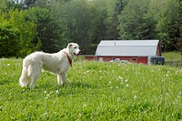 Golden Retriever Near Barn