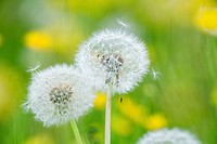 Blowballs Taraxacum officinale