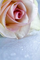 Detail of a rose and water drops