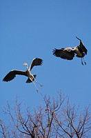 Grey Herons Ardea cinerea flying and argueing