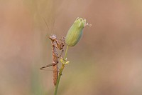 Praying Matis Mantis religiosa