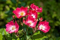 Wild rose (Rosa)