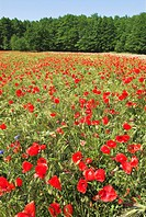 Corn poppy field on the peninsula Lieper Winkel, Usedom island, Mecklenburg Western Pomerania, Germany, Europe