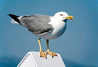 Lesser Black-backed Gull Larus fuscus sitting