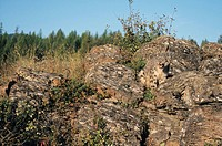 Snow Leopard (Uncia uncia) well camouflaged o a rock