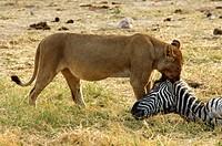 Lioness at a Zebra kill, Savuti Narional Park, Botswana