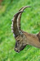 Capra ibex Alpine ibex steinbock