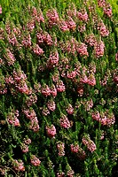 Flowering cornish heath cultivar St. Keverne (Erica vagans St. Keverne)