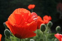 Corn Poppy, (Papaver rhoeas)