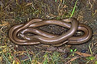 Blindworm or slowworm Anguis fragilis pairing