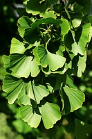 Ginkgo - maidenhair-tree - branch with leaves (Ginkgo biloba)