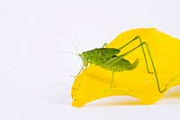 Bush Cricket (Leptophyes punctatissima)