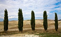 Cypresses (Cupressus) in front of a scenery near Pienza Crete Tuscany Italy