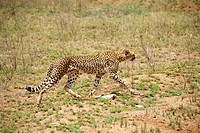Cheetah Acinonyx jubatus at still hunt Serengeti National Park Tanzania