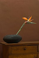 Strelitzia or Crane Flower or Bird of Paradise (Strelitzia reginae)
