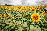 Sunflower, Palmas, Tocantins, Brazil