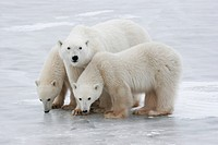 Polar bear family Ursus maritimus, Churchill, Manitoba, Canada