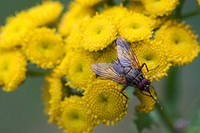 Common Tansies or Mugwort (Tanacetum vulgare) and fly, Bayrischer Wald (Bavarian Forest), Bavaria, Germany, Europe